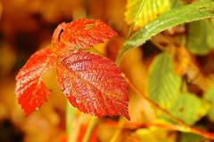 Herbst (izoll) Tags: izoll alpha77ii sony wald herbstwald herbst herbstfarben jahreszeiten nebel nebelwald oktober herbststimmung macro makro nahaufnahmen blatt laub rot