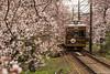 Tunel-Sakura-Kioto-Randen-19 (luisete) Tags: hanami japan randen túneldesakura tranvía tramway japón kioto kyoto