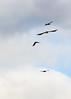 Buzzard and Jackdaws (Trevor King 66) Tags: buzzard kestrel jackdaw wildlife nature nikon d3100 bird derbyshire highpeak autumn