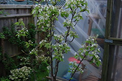 Pyrus communis 'Onward' (basswulf) Tags: pyrus pyruscommunis onward pear d40 1855mmf3556g lenstagged unmodified 32 image:ratio=32 permissions:licence=c plantdb:family=pending 20170404 201704 3008x2000 garden backgarden normcres oxford england uk