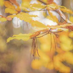 310/365 (Jane Simmonds) Tags: autumn forestofdean woodland tree leaves beech bokeh pentaxtakumar50mmf14 vintagelens 308365 3652017