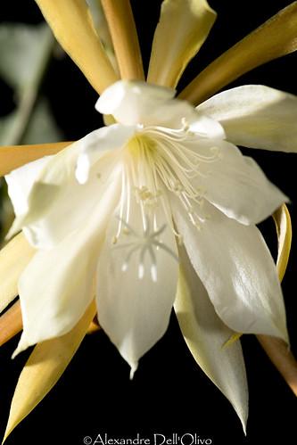 Epiphyllum anguliger_DSC4694