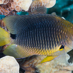 Threespot Damselfish - Stegastes planifrons thumbnail