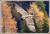 Gypaète jeune 171026-38-RP (paul.vetter) Tags: oiseau ornithologie ornithology faune animal bird gypaètebarbu gypaetusbarbatus bartgeier quebrantahuesos beardedvulture vautour rapace