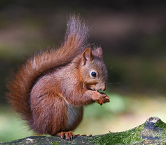 Red Squirrel (mikedenton19) Tags: red squirrel redsquirrel sciurus vulgaris sciurusvulgaris rodent mammal uk british wildlife nature yorkshire dales national park yorkshiredalesnationalpark wensleydale hawes