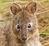 Quokka (Rattlepod) Tags: quokka marsupial macropod australian