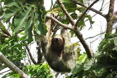 Sloth/ Faultier/ La Fortuna  V (sandrella2706) Tags: costarica lafortuna mysticopark elarenal centralamerica