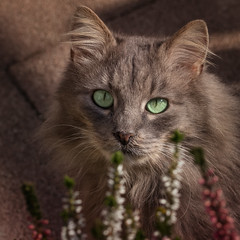 Eyes behind the heather (FocusPocus Photography) Tags: fynn fynnegan katze kater cat chat gato tier animal haustier pet erika heather