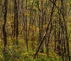 Woodland light (Tim Ravenscroft) Tags: woodland tress blueridgeparkway northcarolina hasselblad hasselbladx1d x1d