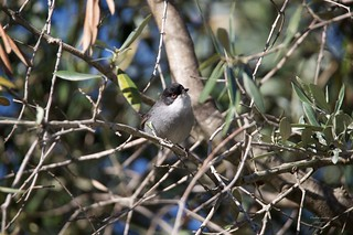 Toutinegra de Cabeça Preta (Sylvia melanocephala)