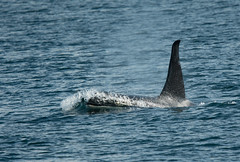 Making waves (Tim Melling) Tags: orcinusorca orca killer whale vancouver island canada timmelling