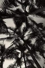 Trees of Palm (richardserra63) Tags: highcontrast shadows monochrome bw blackandwhite landscape trees palmtrees lx5 panasonic