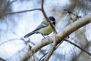 a great tit in a forest