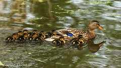 Follow The Leader (Holfo) Tags: wolverley canalwalk staffsworcs duck duckilings young swim swimming babies mom nikon d5300 water bird family group huddle collection wonderful fave