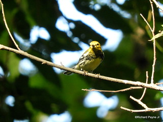 Black-throated Green Warbler_N5545