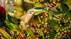 Warbling Vireo [Explored] (Bob Gunderson) Tags: birds california fortmason northerncalifornia sanfrancisco vireogilvus vireos warblingvireo