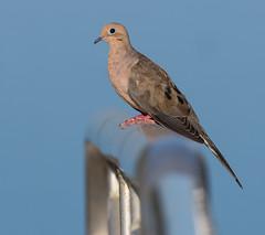 Perched in the Air? (Not Really) (Mark Schocken) Tags: zenaidamacroura markschocken john chesnut senior park dunedinfl dove