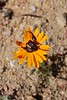 Pachycnema calcarata (Scarabaeidae: Melolonthinae/Rutelinae: Hopliini) (yakovlev.alexey) Tags: southafrica namaqualand namaquanp scarabaeidae rutelinae hopliini melolonthinae