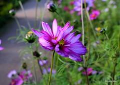 Last of the Summertime dreaming (mootzie) Tags: flowers pink petals stems green garden crathes aberdeenshire scotland summertime dreaming pollen