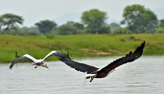 "Fish Eagles • <a style=""font-size:0.8em;"" href=""http://www.flickr.com/photos/152934089@N02/36903714854/"" target=""_blank"">View on Flickr</a>"