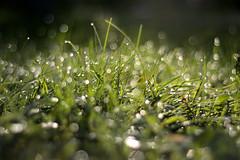 Dew on the grass (Kapitalist63) Tags: dew grass bokeh photo autumn season morning nature