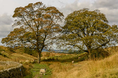 DSC_0032 - Sheddon Clough, Burnley (SWJuk) Tags: swjuk uk unitedkingdom gb britain england lancashire burnley sheddonclough limestone mining trees drystonewalls fields farmland footpath trail sheep packhorsetrail moors moorland grasses 2017 oct2017 autumn autumnal autumncolours clouds cloudy nikon d7100 nikond7100 wideangle rawnef lightroomcc 18300mm