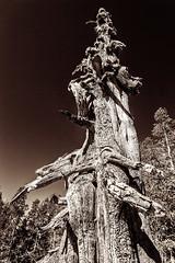 Tree Trunk  _1783 (hkoons) Tags: desolationwilderness loonlake spinderlake california loon sierras blue lake landscape mountains outdoors outside rocks sunshine trees water