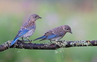 Eastern Bluebird siblings