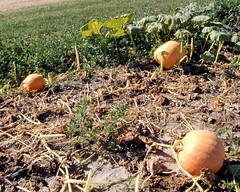 005 Pumpkins Waiting To Be Picked (saschmitz_earthlink_net) Tags: 2017 california temecula bighorsefeedandmercantile cornmaze orienteering laoc losangelesorienteeringclub corn