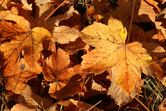 All The Leaves Are Brown  - More Or Less (gripspix) Tags: 20171016 nature autumn herbst herbstlaub autumnleaves textures texturen