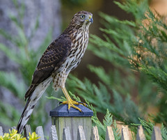 Bombing Bushes (AnthonyVanSchoor) Tags: coopers hawk howardcountymd howardcountybirdclub raptor birdofprey autofocus