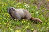 Hoary Marmot (Jim Scarff) Tags: hoarymarmot mammals marmots mtrainiernationalpark northamerica northamericanmammals rodents usa wildlife washington unitedstates geo:lon=121732325 exif:lens=ef100400mmf4556lisiiusm camera:model=canoneos7dmarkii camera:make=canon geo:lat=46792019444445 exif:isospeed=1250 exif:aperture=ƒ63 geo:country=unitedstates exif:focallength=188mm geo:city=mtrainiernationalpark exif:model=canoneos7dmarkii geo:location=paradise geo:state=washington exif:make=canon