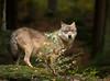 Wolf #2 (muman71) Tags: dsc1646 nikon d610 nikkor3004 wolf bayern nationalparkbayrischerwald tierfreigelände lusen neuschönau 300mm f5 1640sec iso1250