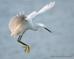 Snowy Egret (Kevin James54) Tags: egrettathula nikond500 snowyegret tamron150600mm wilmington animals avian bird egret fortfisher kevingianniniphotocom