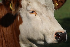 Olympic Delphi Red (excellentzebu1050) Tags: dairycows livestock cattle cow heifer farm field outdoor animal animalportraits closeup coth5 sunrays5