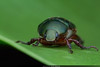 Green Scarab Beetle (Anthony Kei C) Tags: greenbeetle scarabbeetle