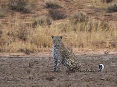 PA042578 adj Leopard (Joanna P Dale) Tags: kgalagaditransfrontierpark matamata olympus omdem1mkii panasonic100400 africanleopard leopard