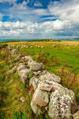Sunny Meadow Sheep (Adrian Evans Photography) Tags: horizon flock sunny landscape welshsheep water meadow clouds welshlandscape wales summer coastline rocks uk anglesey adrianevans northwales grass sky sea wall coast outdoor field