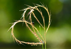 Autumn Labyrinth (keiko*has) Tags: 7dwf sunday fauna ladybird japanesepampasgrass october garden heart makemesmile