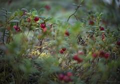 forest bounty (gnarlydog) Tags: adaptedlens kodakanastigmat63mmf27 forest lingonberry scandinavia sweden nature closeup swirly bokeh colorful shallowdepthoffield dreamy berry fruit manualfocus vintagelens