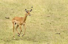 Impala Running in the Masai Mara (John Hallam Images) Tags: impala running masai mara masaimara kenya safari
