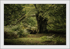 Ancient. (muddlemaker1967) Tags: hampshire landscape photography thenewforest national park ancient woodland nikon d700 nikkor 70200 f28