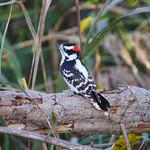 Downy Woodpecker - Sunken Meadow, NY thumbnail