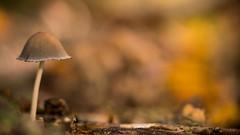 Autumn Mushroom (Bastian.K) Tags: zuiko180mm20 pilz mushroom zuiko 180mm 20 olympus om adapter adapted lenses bokeh close up macro extension tube