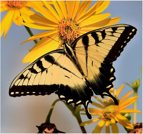 Tiger Swallowtail by John Janunas - Class A Digital -  HM- September 2017