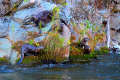 A family of otters (FISH-BIO) Tags: otters clearcreekotters clearcreek otterfamily otterscatchingfish catchingfish theoutdoors wildlife