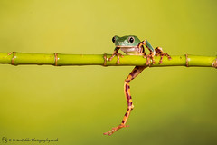 Super Tiger Leg Waxy Monkey Tree Frog
