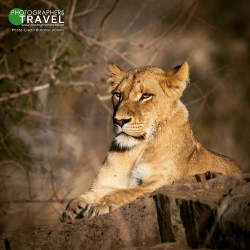 Lioness - Sabi Sabi 2017