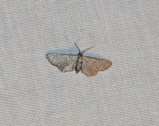 Exelis pyrolaria, Fine-lined Gray Moth