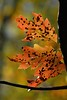 ch ch changes (courtney065) Tags: nikond200 nature landscapes foliage flora depthoffield blurred textures mottled orange autumn fall autumnfoliage leaves autumnleaves